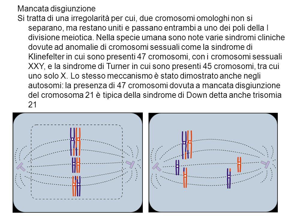 Mancata disgiunzione Si tratta di una irregolarità per cui, due cromosomi omologhi non si separano, ma restano uniti e passano entrambi a uno dei poli
