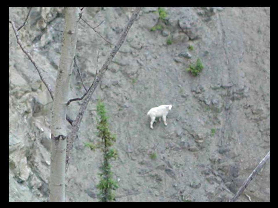 E' il più agile di tutti i mammiferi di montagna, infatti la capra di montagna si muove con sicurezza sulle sporgenze rocciose dove si sente al sicuro dai predatori.