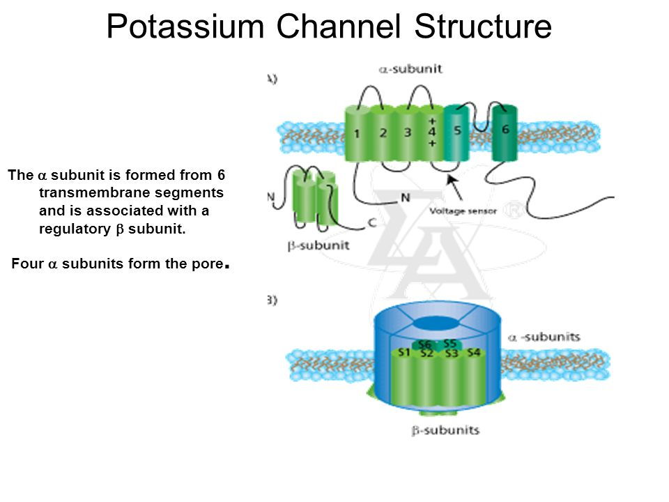 Potassium Channel Structure The  subunit is formed from 6 transmembrane segments and is associated with a regulatory  subunit. Four  subunits form