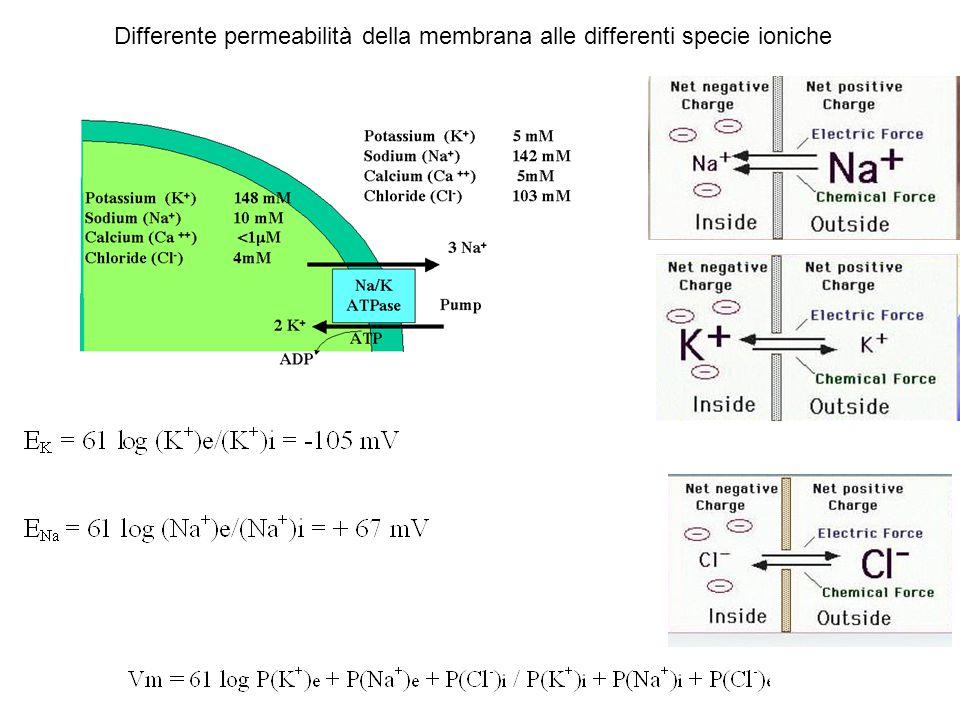 Differente permeabilità della membrana alle differenti specie ioniche