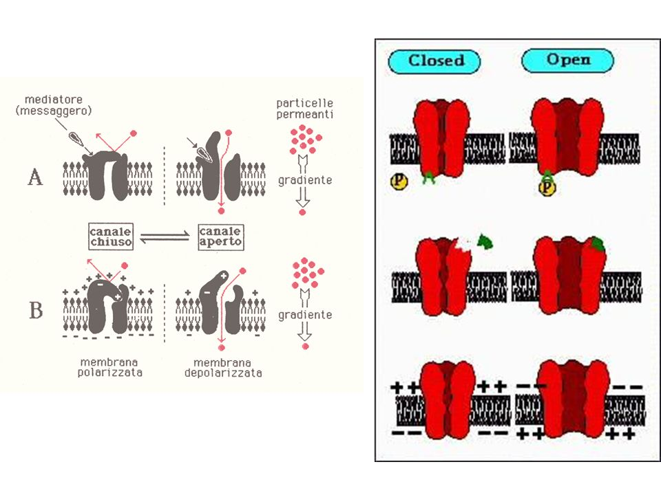 Potassium Channel Structure The  subunit is formed from 6 transmembrane segments and is associated with a regulatory  subunit.