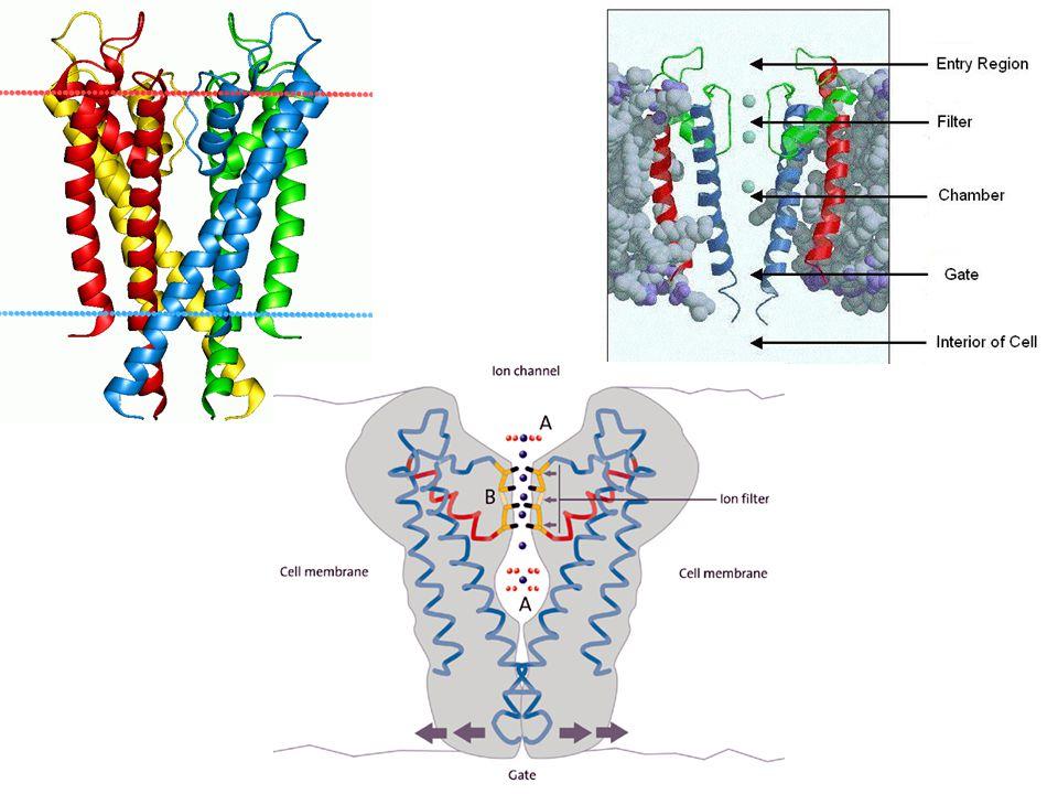 proprietà dei recettori proprietà della membrana  Più perdurerà il segnale più facilmente si potrà sommare