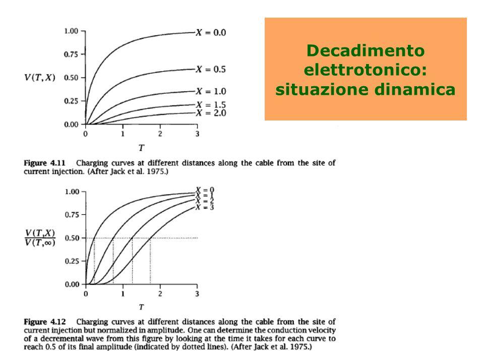 Decadimento elettrotonico: situazione dinamica