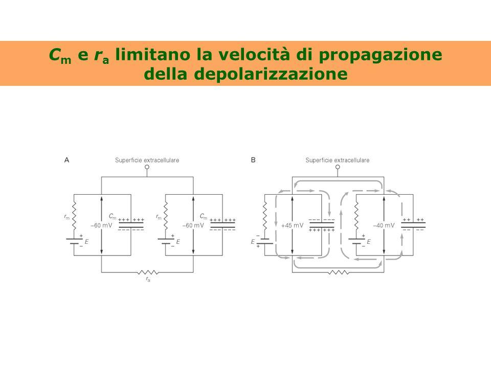 C m e r a limitano la velocità di propagazione della depolarizzazione