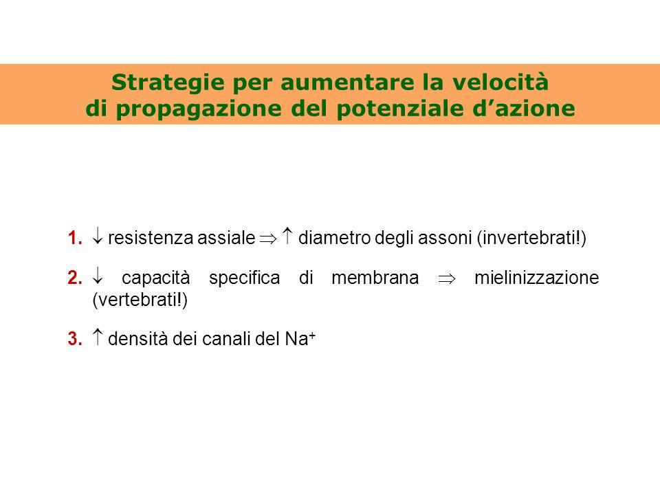 Strategie per aumentare la velocità di propagazione del potenziale d'azione 1.  resistenza assiale   diametro degli assoni (invertebrati!) 2.  cap