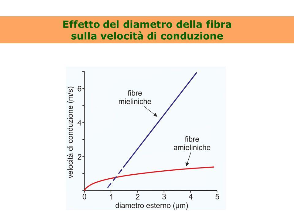Effetto del diametro della fibra sulla velocità di conduzione
