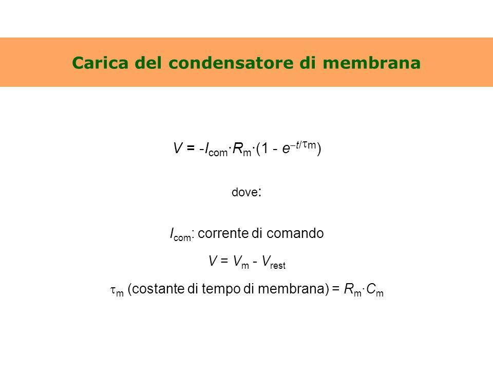 Carica del condensatore di membrana V = -I com ·R m ·(1 - e  t/  m ) dove : I com : corrente di comando V = V m - V rest  m (costante di tempo di m