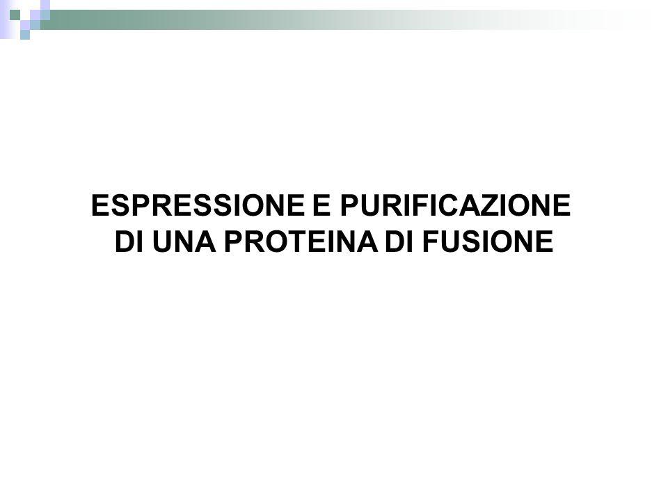 ESPRESSIONE E PURIFICAZIONE DI UNA PROTEINA DI FUSIONE