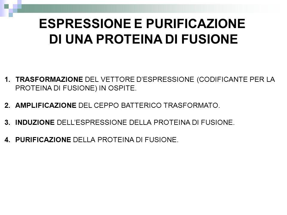 1.TRASFORMAZIONE DEL VETTORE D'ESPRESSIONE (CODIFICANTE PER LA PROTEINA DI FUSIONE) IN OSPITE. 2.AMPLIFICAZIONE DEL CEPPO BATTERICO TRASFORMATO. 3.IND