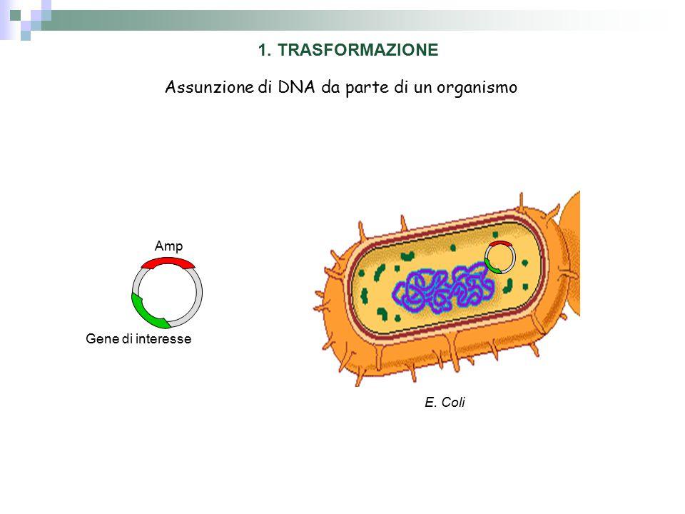 Amp Gene di interesse 1. TRASFORMAZIONE E. Coli Assunzione di DNA da parte di un organismo