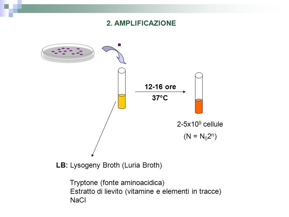12-16 ore 37°C 2-5x10 9 cellule (N = N 0 2 n ) LB: Lysogeny Broth (Luria Broth) Tryptone (fonte aminoacidica) Estratto di lievito (vitamine e elementi