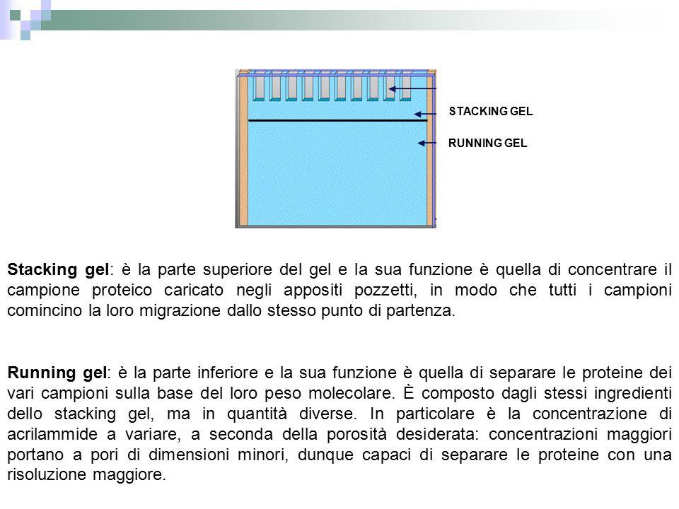 Running gel: è la parte inferiore e la sua funzione è quella di separare le proteine dei vari campioni sulla base del loro peso molecolare. È composto