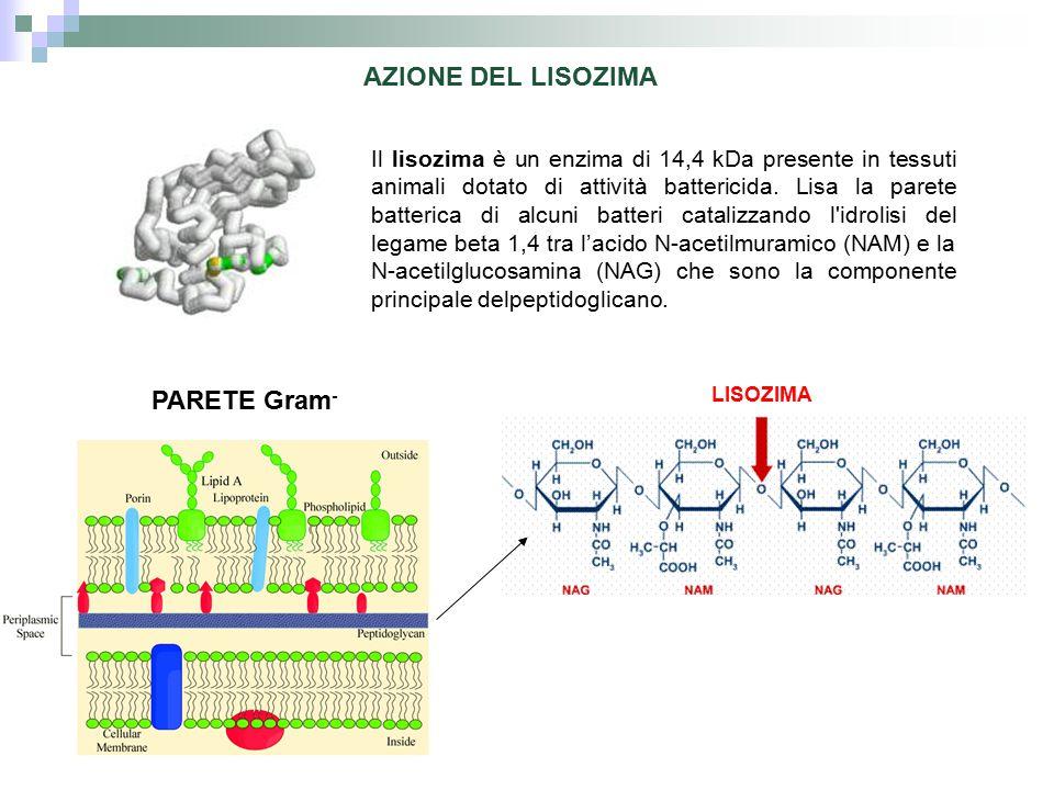 AZIONE DEL LISOZIMA PARETE Gram - LISOZIMA Il lisozima è un enzima di 14,4 kDa presente in tessuti animali dotato di attività battericida. Lisa la par