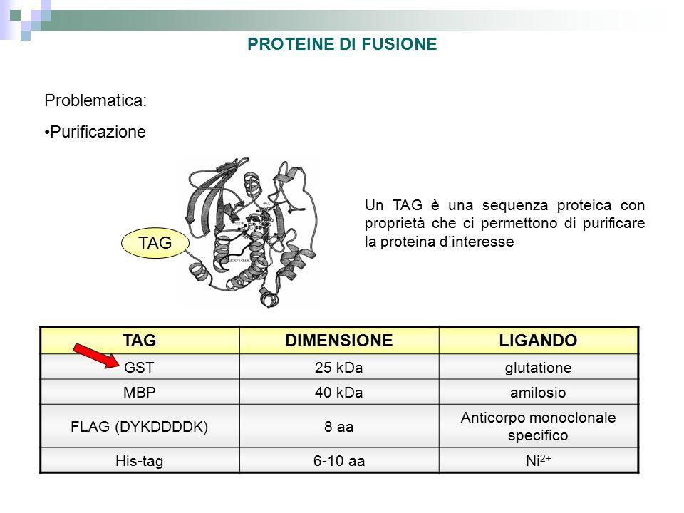 PROTEINE DI FUSIONE Un TAG è una sequenza proteica con proprietà che ci permettono di purificare la proteina d'interesse TAG DIMENSIONELIGANDO GST25 k