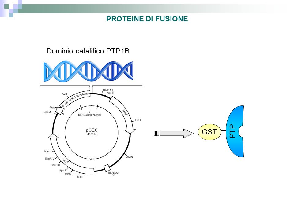 Dominio catalitico PTP1B GST PTP PROTEINE DI FUSIONE