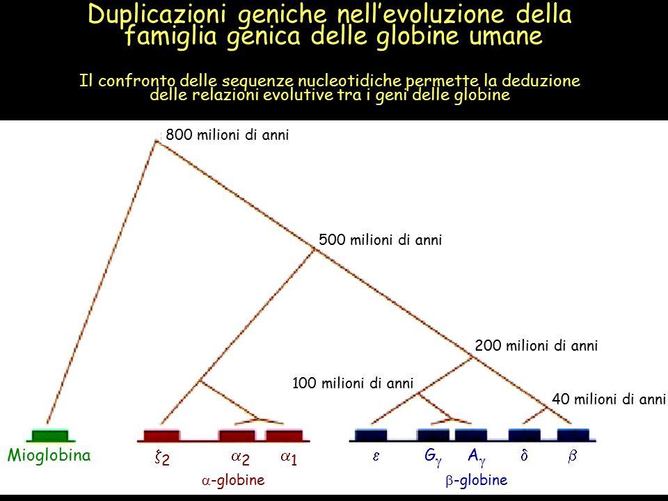 800 milioni di anni 500 milioni di anni 200 milioni di anni 40 milioni di anni 100 milioni di anni Mioglobina  2  2  1  G  A     -globine  -globine Duplicazioni geniche nell'evoluzione della famiglia genica delle globine umane Il confronto delle sequenze nucleotidiche permette la deduzione delle relazioni evolutive tra i geni delle globine