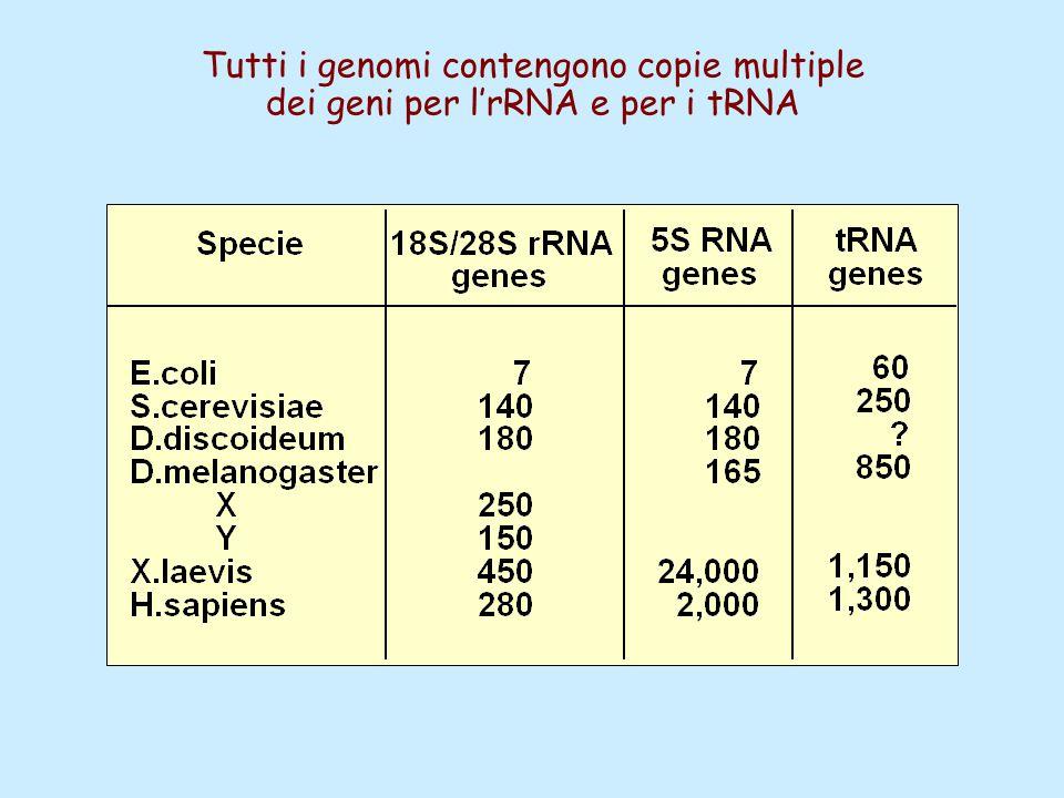 Tutti i genomi contengono copie multiple dei geni per l'rRNA e per i tRNA