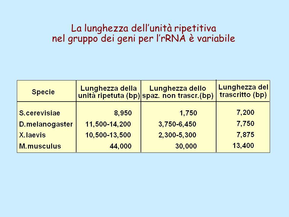 La lunghezza dell'unità ripetitiva nel gruppo dei geni per l'rRNA è variabile