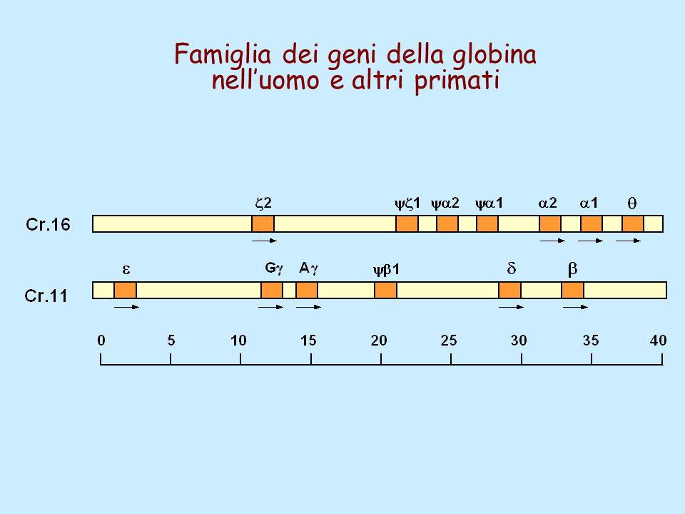Famiglia dei geni della globina nell'uomo e altri primati