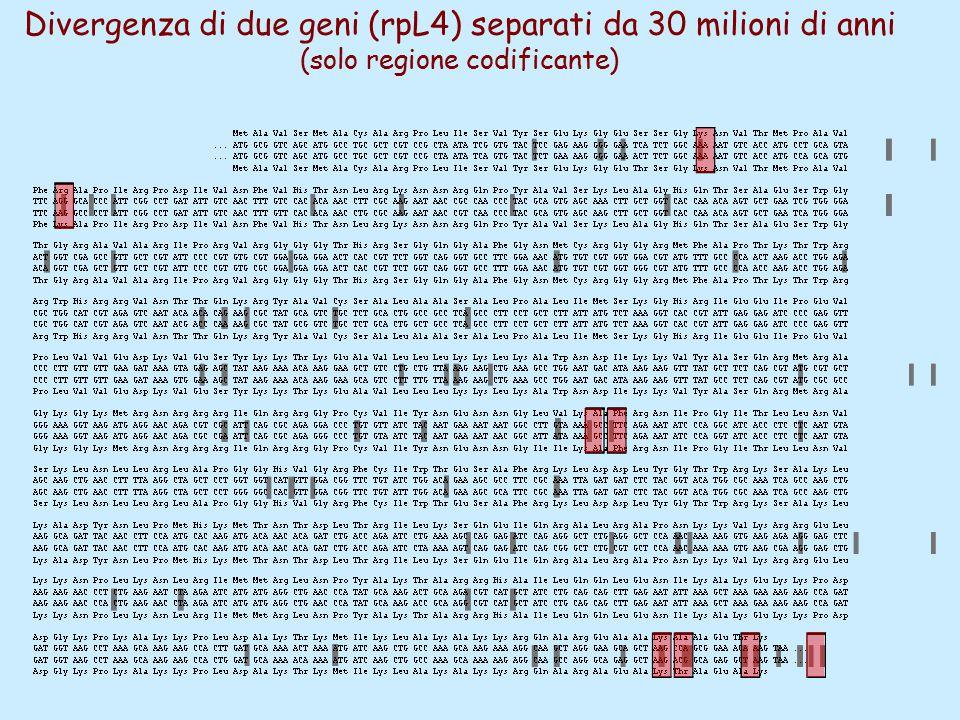 Divergenza di due geni (rpL4) separati da 30 milioni di anni (solo regione codificante)