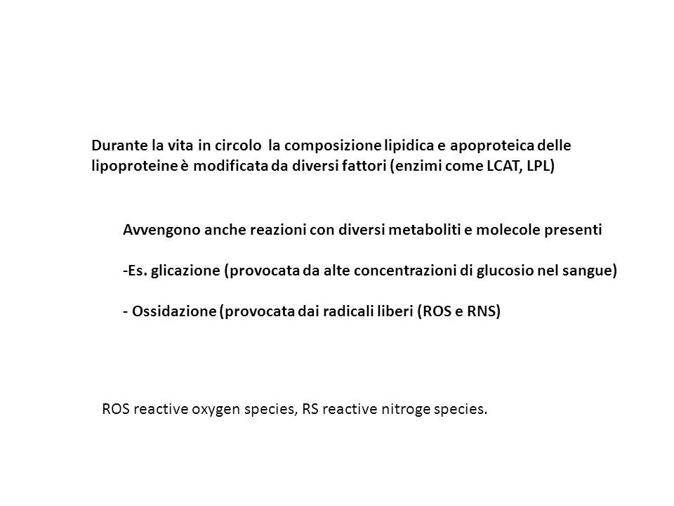 Durante la vita in circolo la composizione lipidica e apoproteica delle lipoproteine è modificata da diversi fattori (enzimi come LCAT, LPL) Avvengono