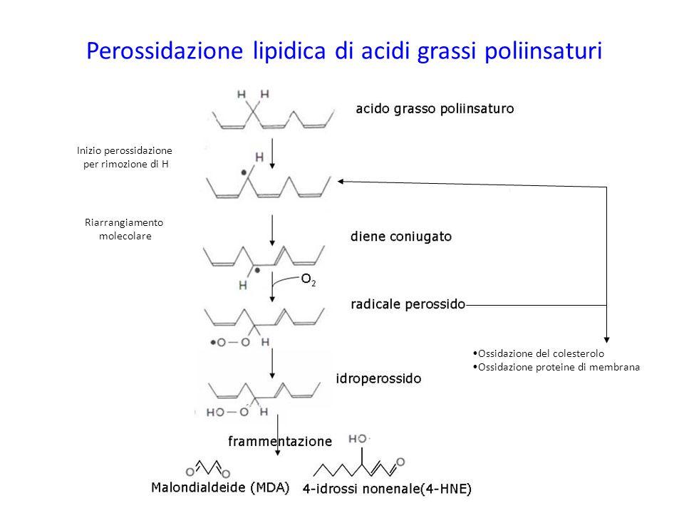 Perossidazione lipidica di acidi grassi poliinsaturi Inizio perossidazione per rimozione di H Riarrangiamento molecolare Ossidazione del colesterolo O