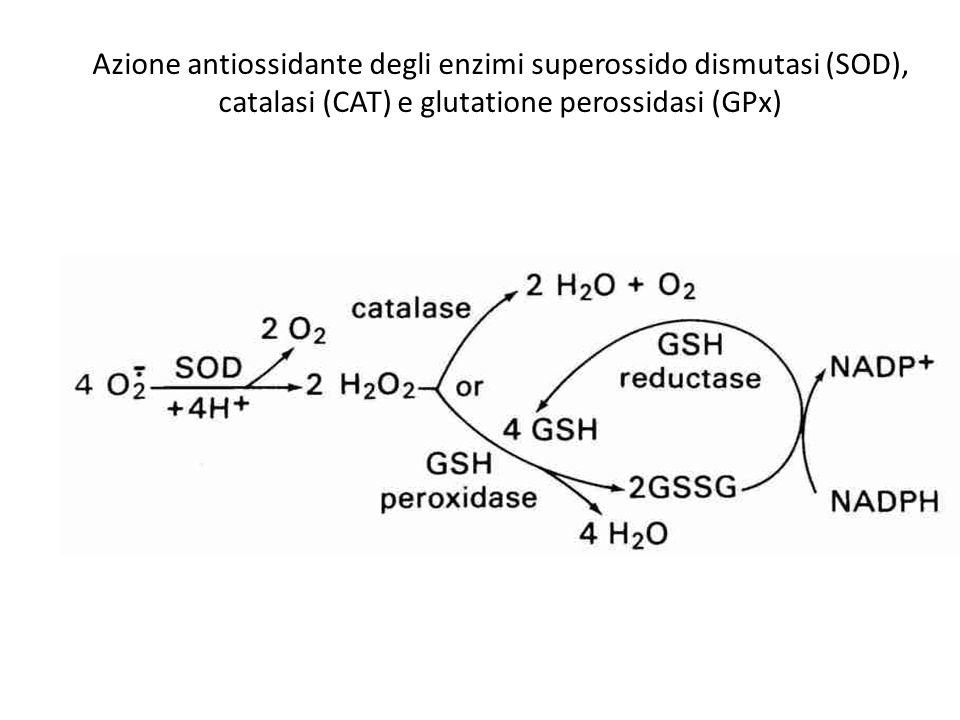 Azione antiossidante degli enzimi superossido dismutasi (SOD), catalasi (CAT) e glutatione perossidasi (GPx) O 2.-
