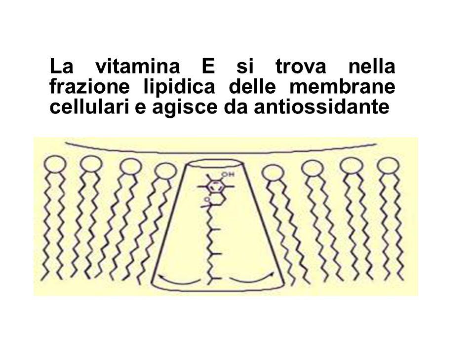 La vitamina E si trova nella frazione lipidica delle membrane cellulari e agisce da antiossidante