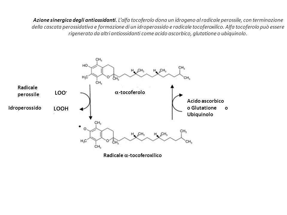 Azione sinergica degli antiossidanti. L'alfa tocoferolo dona un idrogeno al radicale perossile, con terminazione della cascata perossidativa e formazi