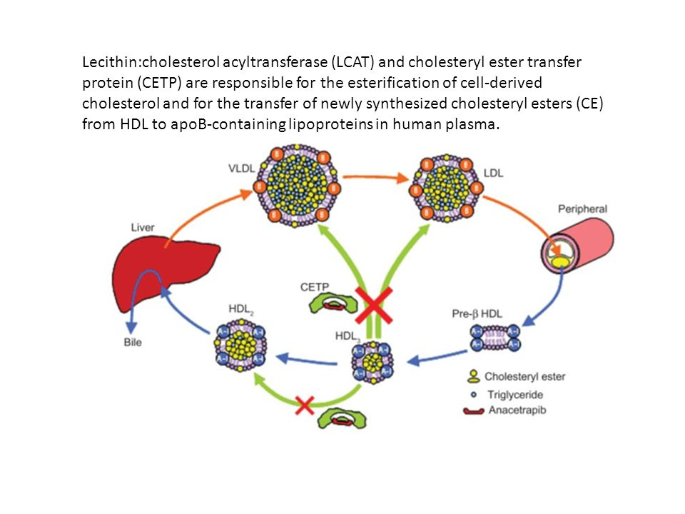 Lecithin:cholesterol acyltransferase (LCAT) and cholesteryl ester transfer protein (CETP) are responsible for the esterification of cell-derived chole
