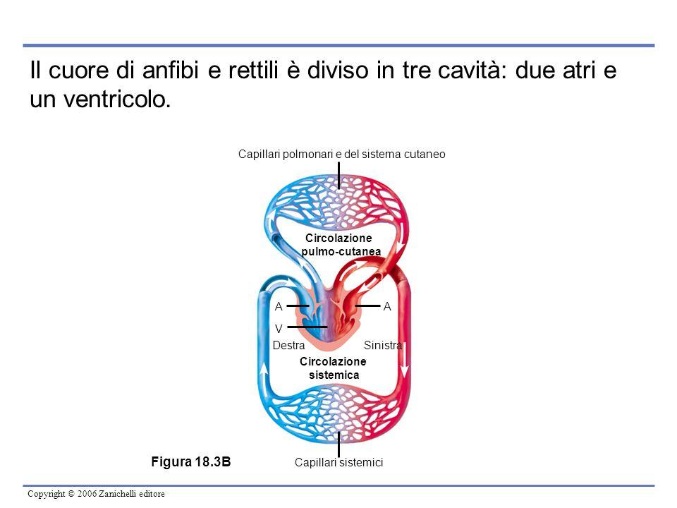Copyright © 2006 Zanichelli editore Figura 18.3B Circolazione pulmo-cutanea Circolazione sistemica DestraSinistra AA V Capillari polmonari e del siste