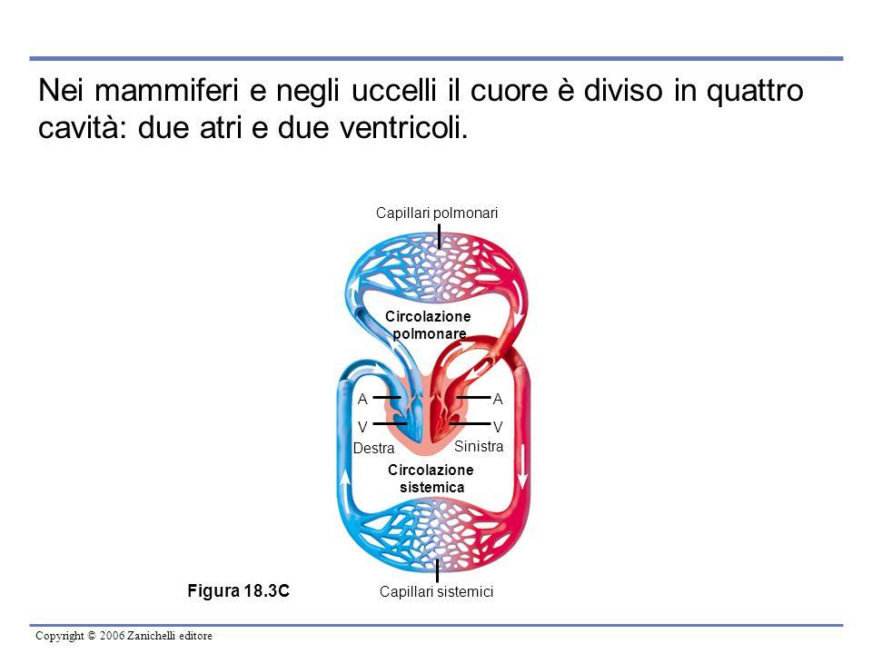 Copyright © 2006 Zanichelli editore Circolazione polmonare Circolazione sistemica Destra Sinistra AA V Capillari polmonari Capillari sistemici V Figur