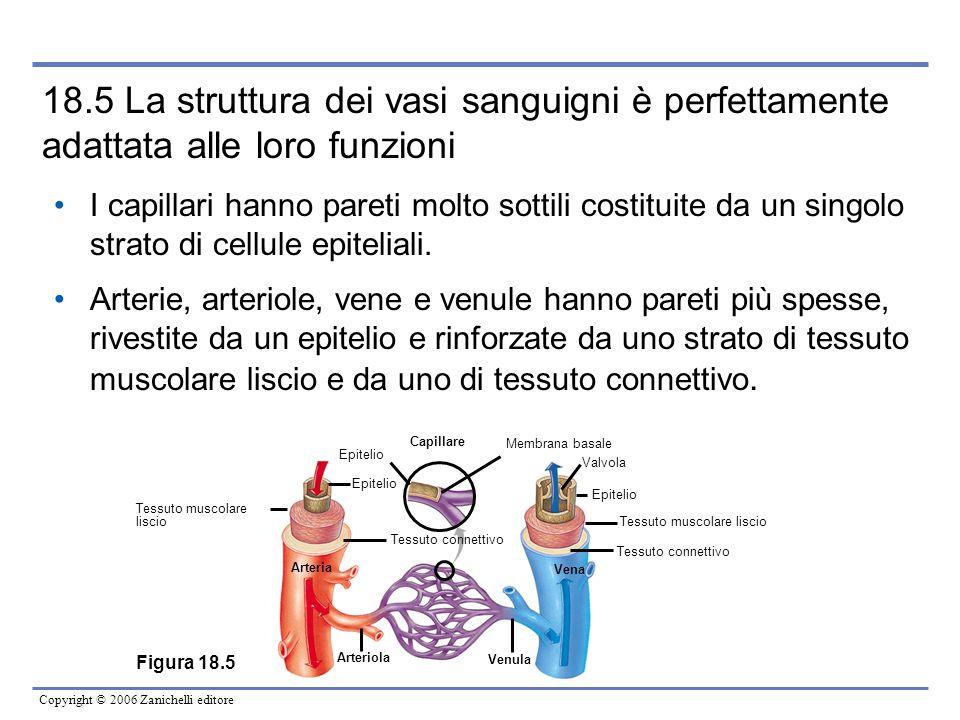 Copyright © 2006 Zanichelli editore 18.5 La struttura dei vasi sanguigni è perfettamente adattata alle loro funzioni I capillari hanno pareti molto so