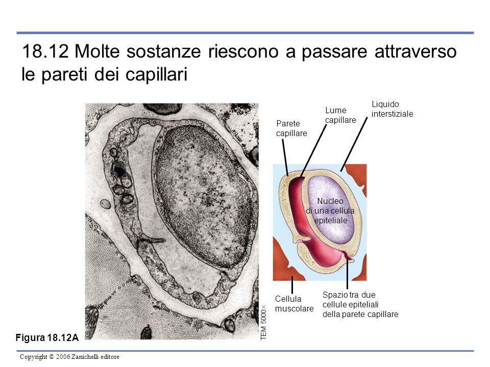 Copyright © 2006 Zanichelli editore 18.12 Molte sostanze riescono a passare attraverso le pareti dei capillari TEM 5000  Cellula muscolare Spazio tra