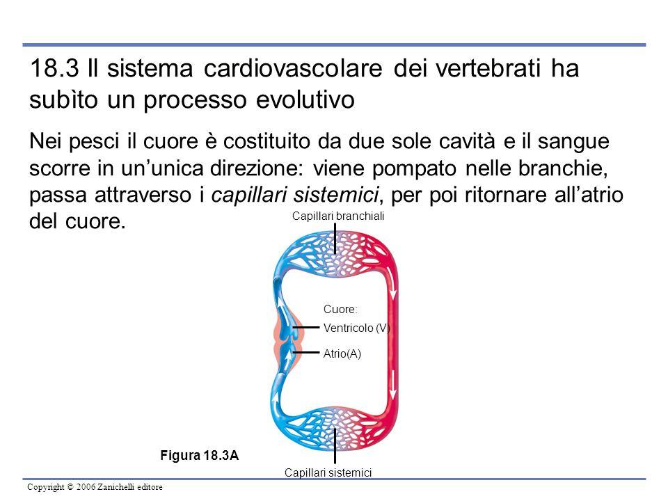 Copyright © 2006 Zanichelli editore 18.3 Il sistema cardiovascolare dei vertebrati ha subìto un processo evolutivo Nei pesci il cuore è costituito da