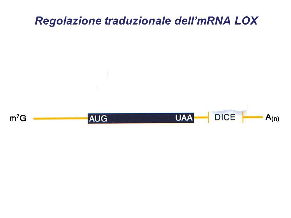Regolazione traduzionale dell'mRNA LOX