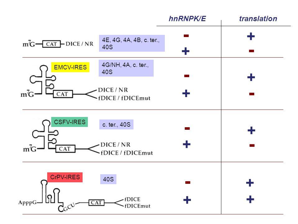 EMCV-IRES CSFV-IRES CrPV-IRES hnRNPK/Etranslation + - + - + - + - + - + + + - + - 4G/NH, 4A, c. ter., 40S 4E, 4G, 4A, 4B, c. ter., 40S c. ter., 40S 40