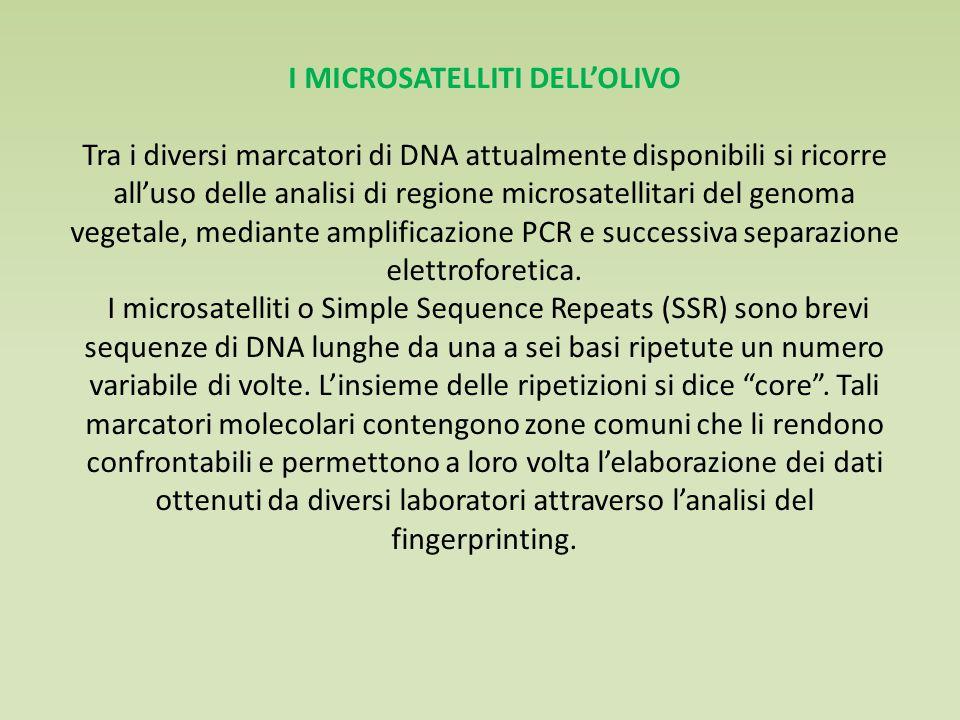 I MICROSATELLITI DELL'OLIVO Tra i diversi marcatori di DNA attualmente disponibili si ricorre all'uso delle analisi di regione microsatellitari del genoma vegetale, mediante amplificazione PCR e successiva separazione elettroforetica.