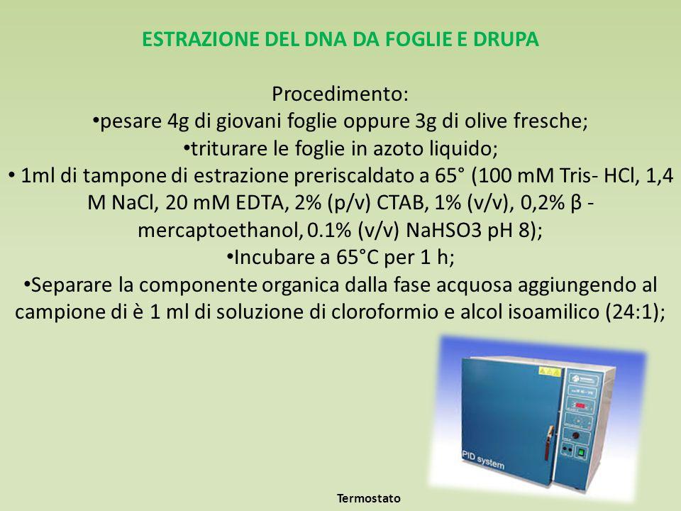 ESTRAZIONE DEL DNA DA FOGLIE E DRUPA Procedimento: pesare 4g di giovani foglie oppure 3g di olive fresche; triturare le foglie in azoto liquido; 1ml di tampone di estrazione preriscaldato a 65° (100 mM Tris- HCl, 1,4 M NaCl, 20 mM EDTA, 2% (p/v) CTAB, 1% (v/v), 0,2% β - mercaptoethanol, 0.1% (v/v) NaHSO3 pH 8); Incubare a 65°C per 1 h; Separare la componente organica dalla fase acquosa aggiungendo al campione di è 1 ml di soluzione di cloroformio e alcol isoamilico (24:1); Termostato