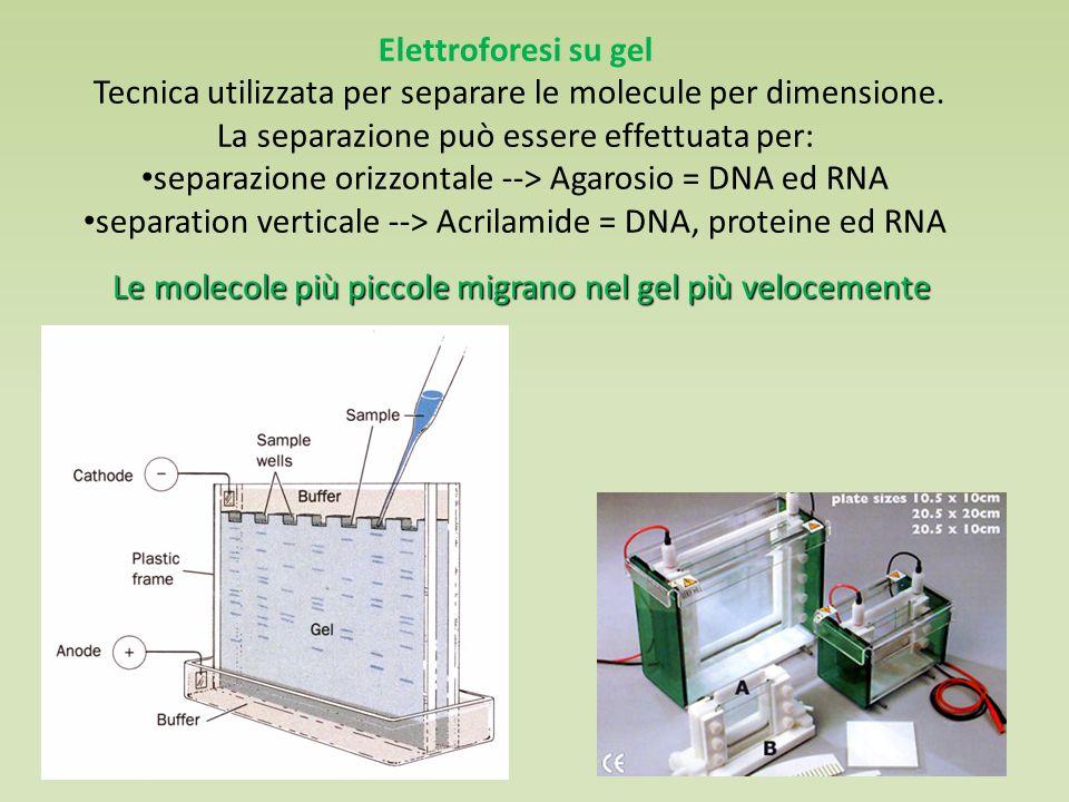 Elettroforesi su gel Tecnica utilizzata per separare le molecule per dimensione.