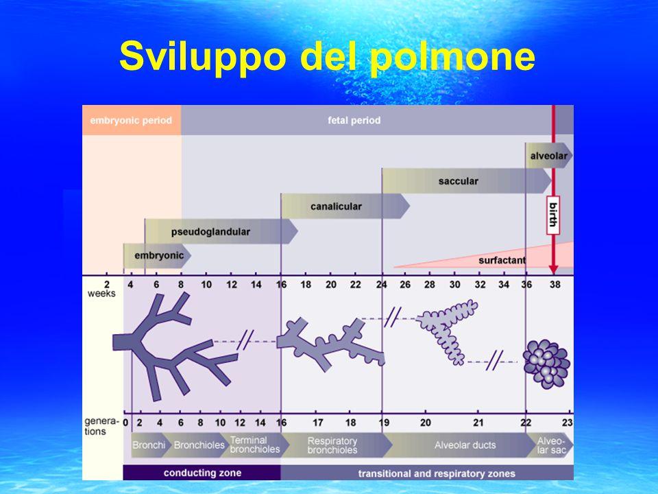 Sviluppo del polmone