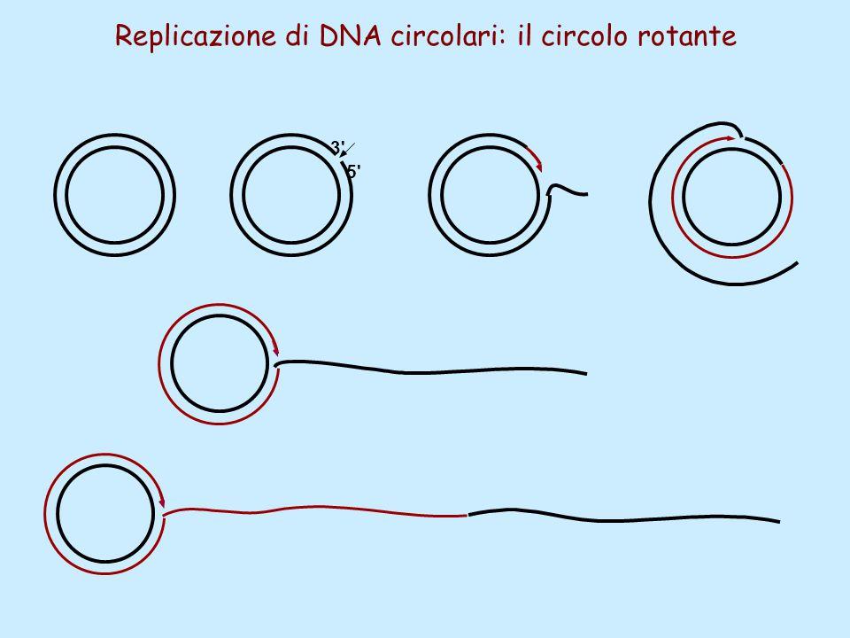 Replicazione di DNA circolari: il circolo rotante 5' 3'