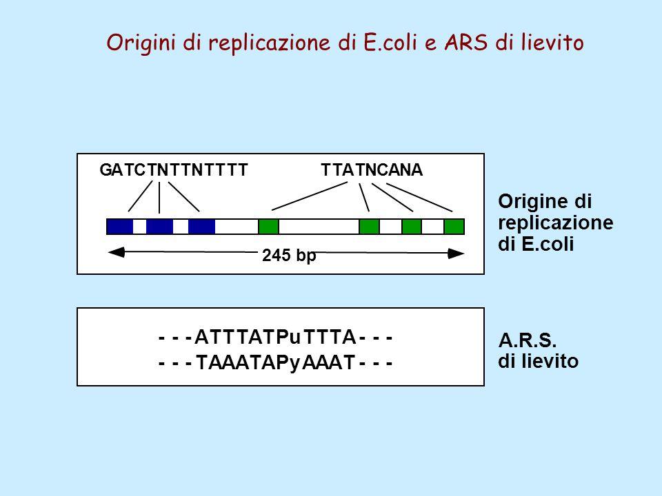 ---ATTTATPuTTTA--- ---TAAATAPyAAAT--- GATCTNTTNTTTTTTATNCANA 245 bp Origine di replicazione di E.coli A.R.S. di lievito Origini di replicazione di E.c