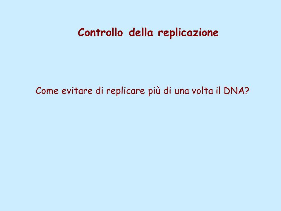 Controllo della replicazione Come evitare di replicare più di una volta il DNA?