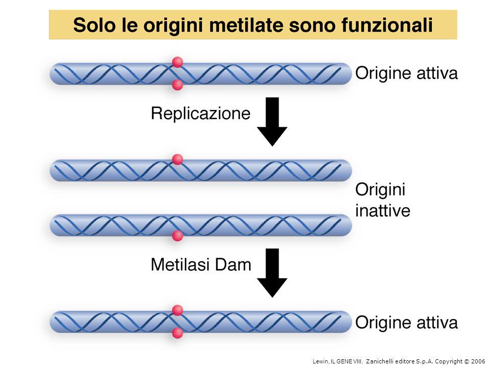 Replicazione di DNA circolari: il circolo rotante 5 3
