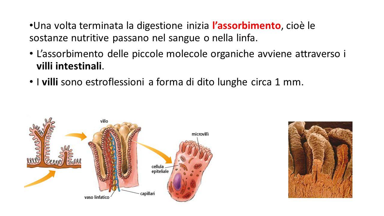 Una volta terminata la digestione inizia l'assorbimento, cioè le sostanze nutritive passano nel sangue o nella linfa. L'assorbimento delle piccole mol