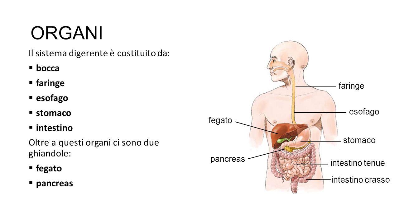 ORGANI Il sistema digerente è costituito da:  bocca  faringe  esofago  stomaco  intestino Oltre a questi organi ci sono due ghiandole:  fegato 