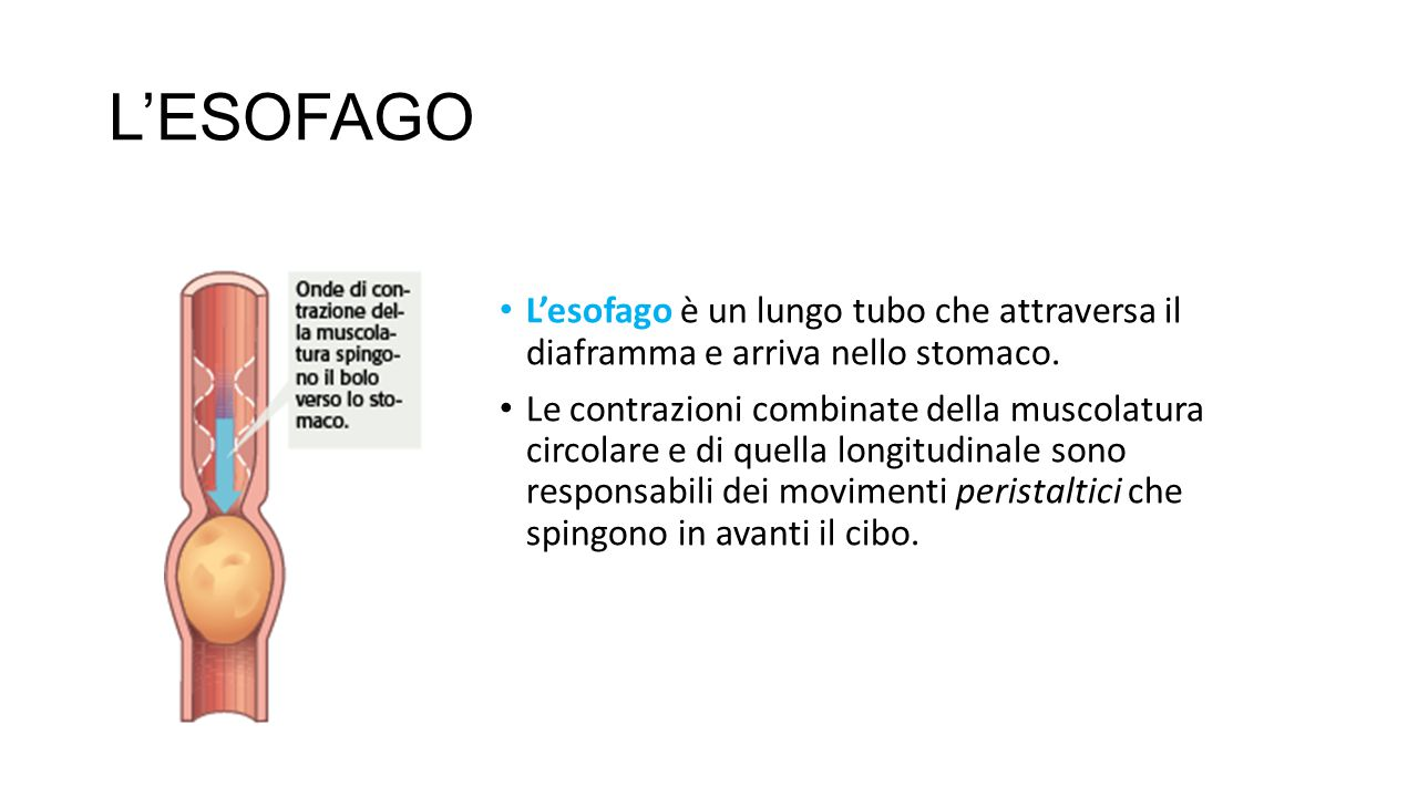 L'ESOFAGO L'esofago è un lungo tubo che attraversa il diaframma e arriva nello stomaco. Le contrazioni combinate della muscolatura circolare e di quel