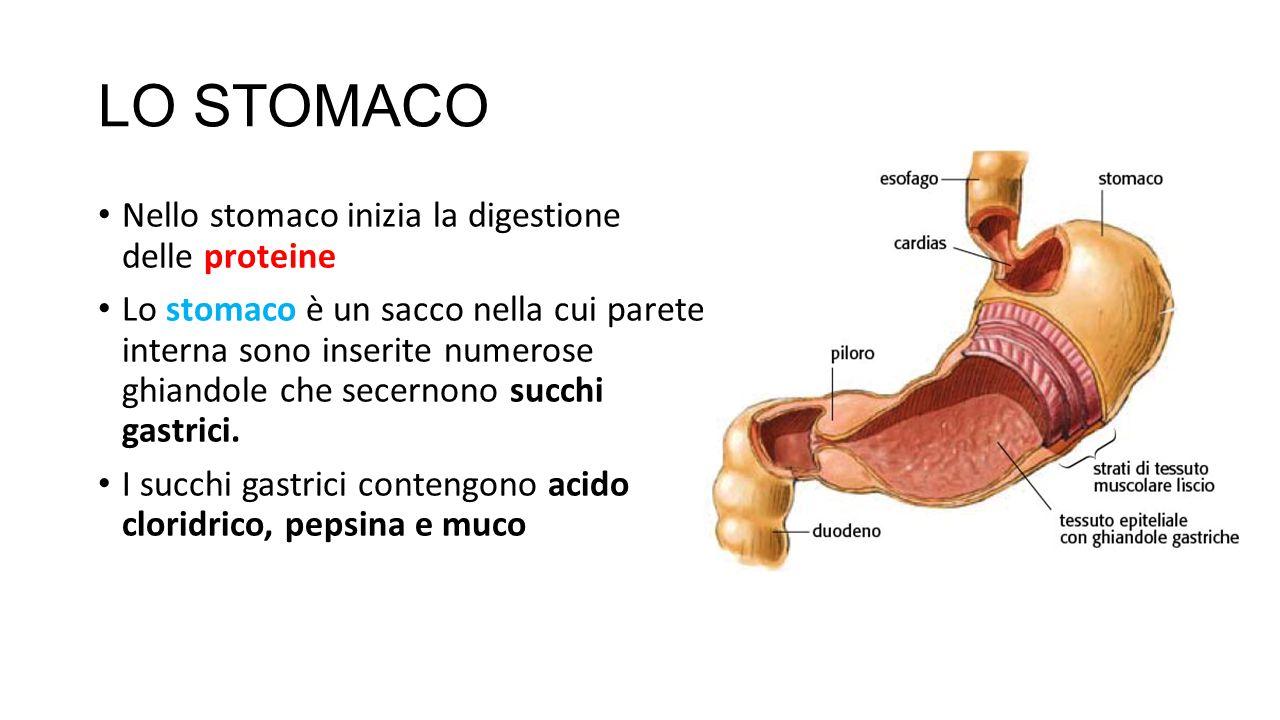 LO STOMACO Nello stomaco inizia la digestione delle proteine Lo stomaco è un sacco nella cui parete interna sono inserite numerose ghiandole che secer