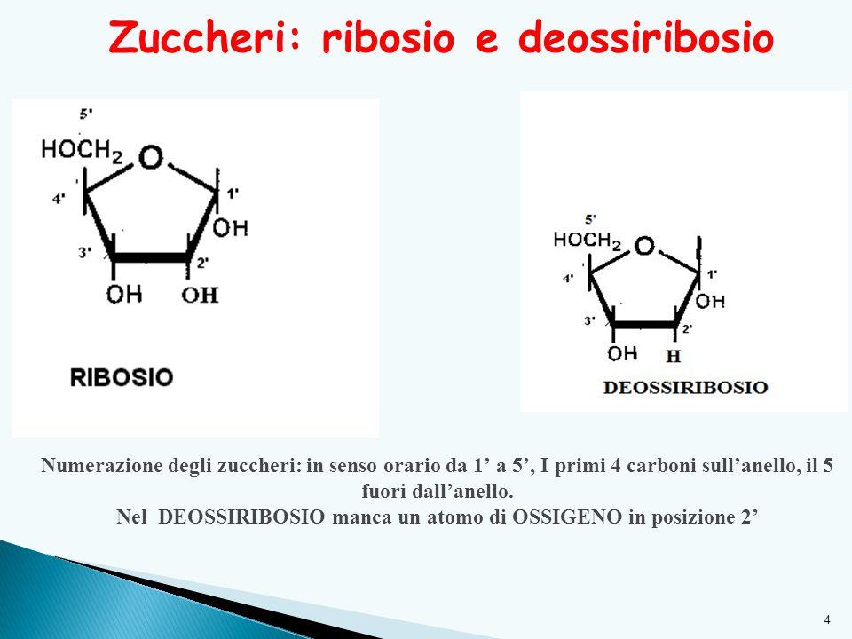 Zuccheri: ribosio e deossiribosio 4 Numerazione degli zuccheri: in senso orario da 1' a 5', I primi 4 carboni sull'anello, il 5 fuori dall'anello. Nel